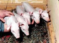 영국 로슬린연구소 돼지 복제 성공